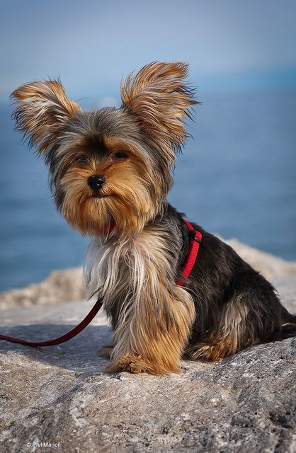 Posing Down By The Beach Yorkie Dogs Yorkie Yorkshire Terrier