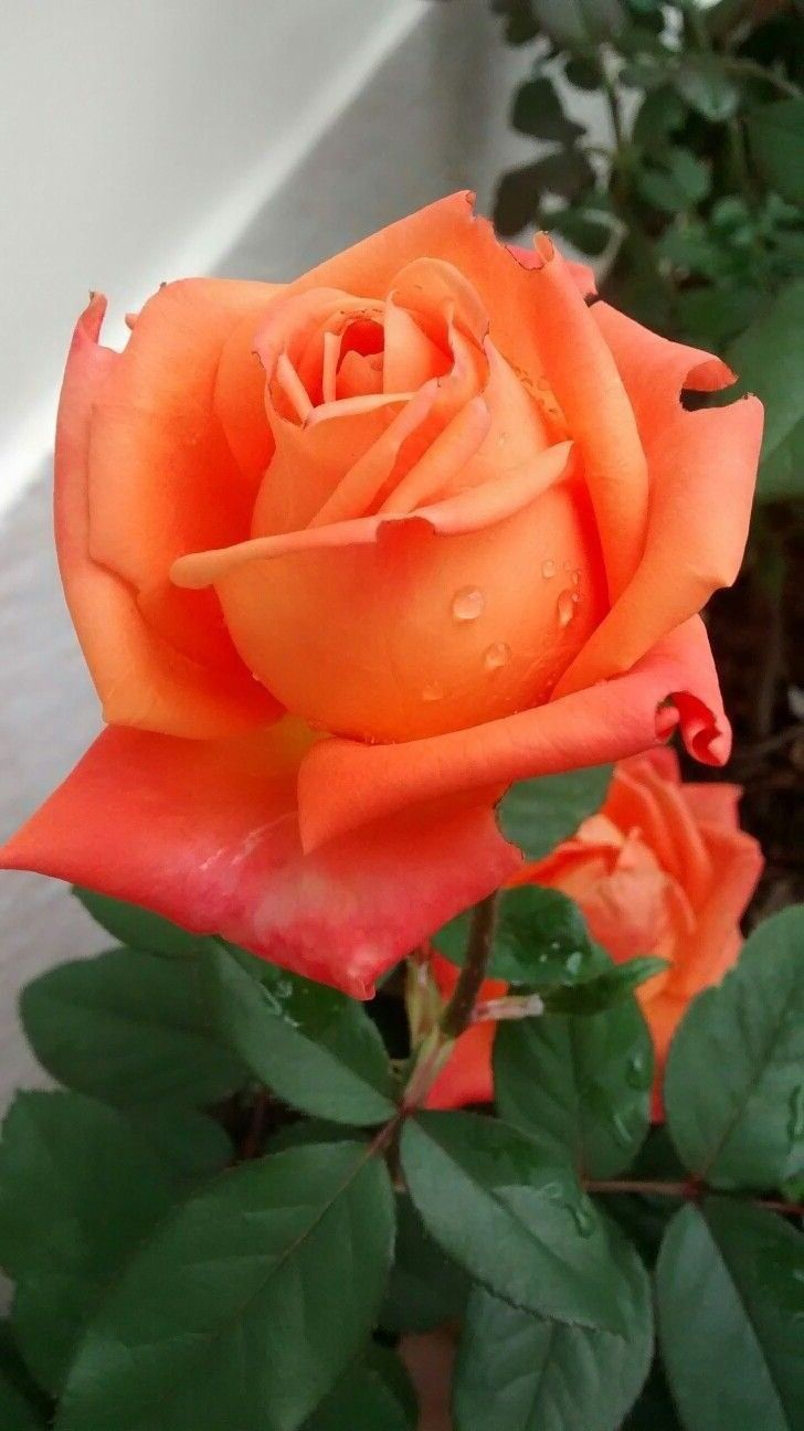 Natural Roses Beautiful Rose Flowers Beautiful Flowers Amazing Flowers