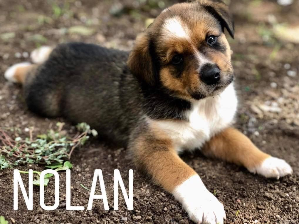 Adopt Nolan On Rottweiler Mix Rottweiler Dog Adoption