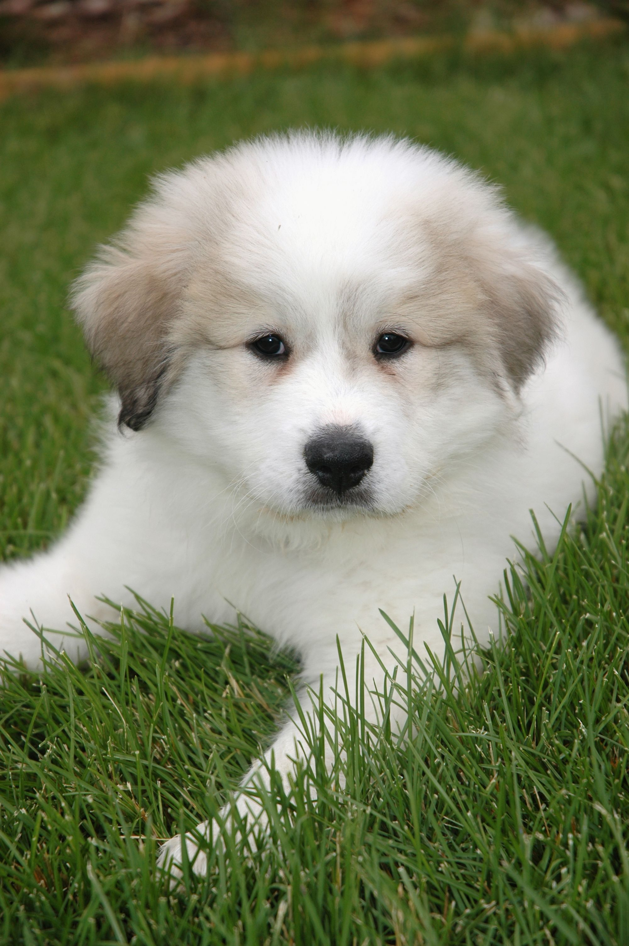My Baby Girl Aspen At 8 Weeks Old Great Pyrenees Great