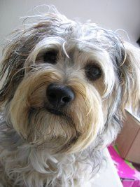 Yorkipoo - Yorkshire Terrier / Poodle Mix 2 years old ...