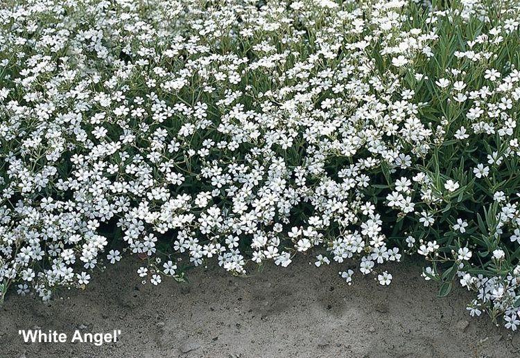 White Angel White Angel Angel Plants