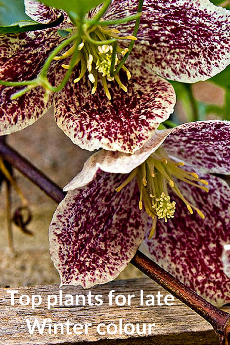 My top plants for your late Winter garden | garden | Pinterest ...