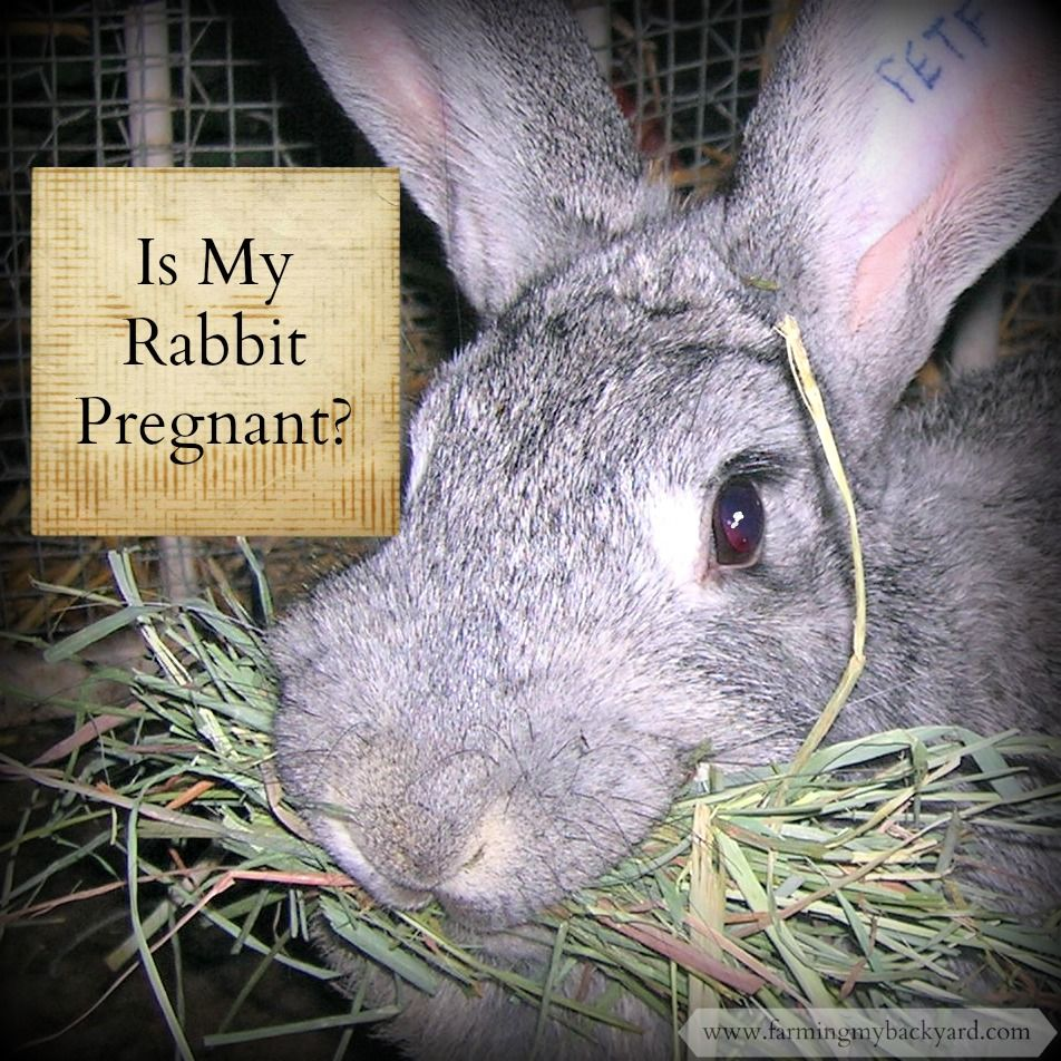 is my rabbit pregnant and what to do if she is rabbit