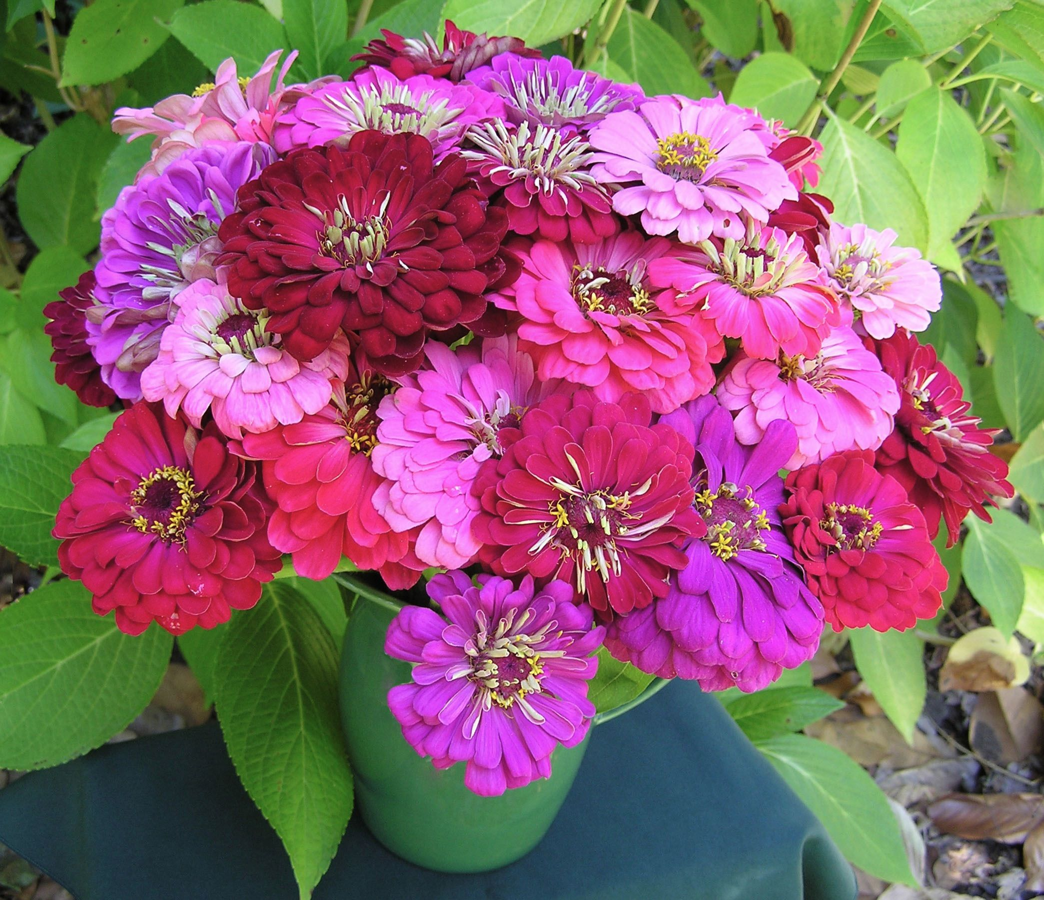 exclusive to renee s garden our berry basket zinnias are a