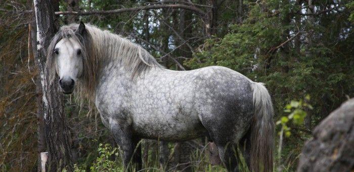 Schottische Highlandponys In Kanada Die Freizeitreiter Pferderassen Pferde Pferde Rassen