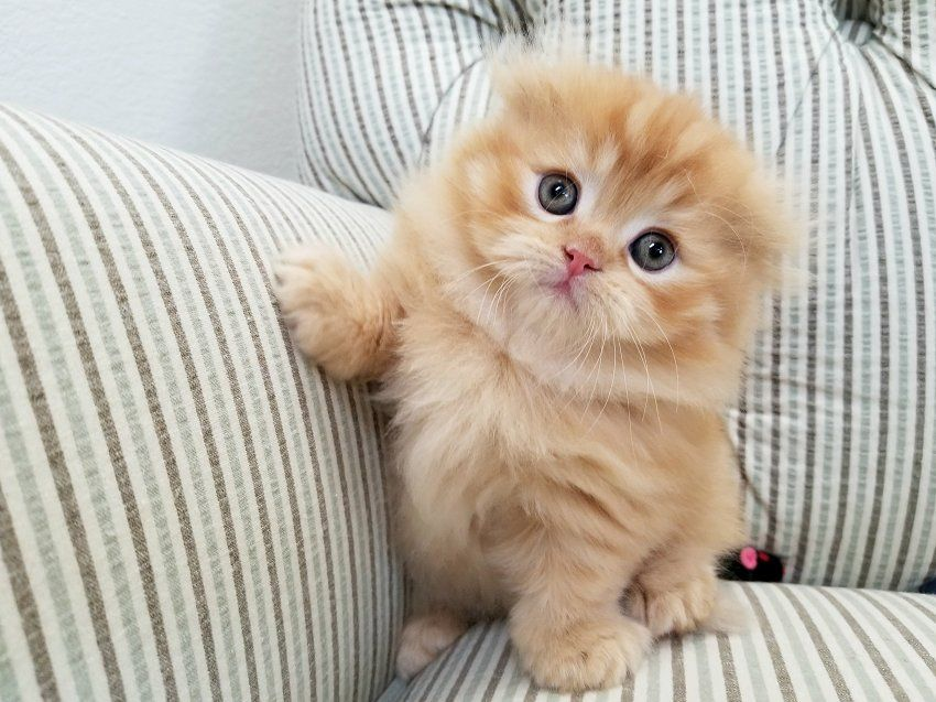 Ultra Rare Persian Fold Rug Hugger Kitten Must See In 2020 Cute Cats Cute Animals Images Cats And Kittens