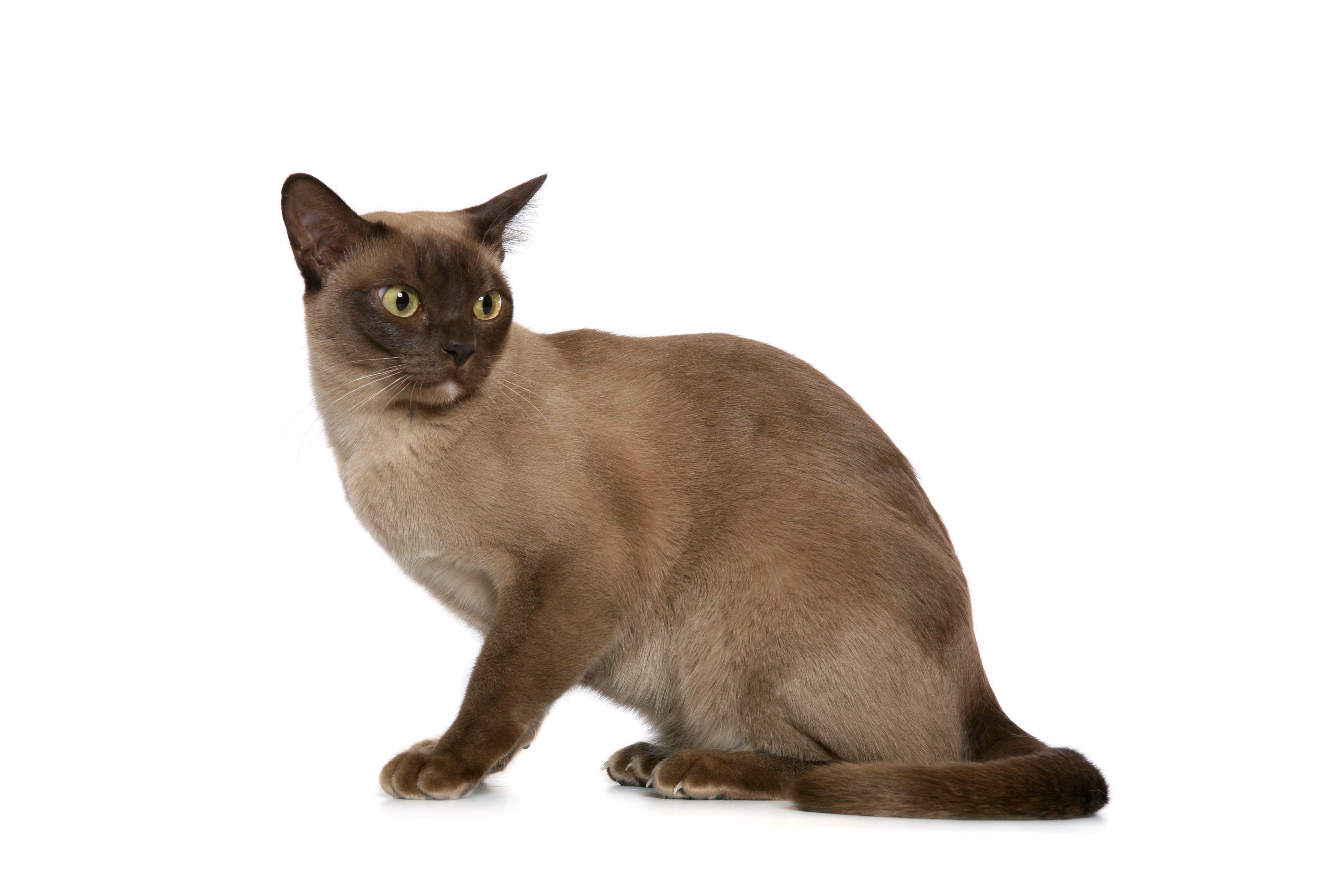 The Top 10 Smartest Cat Breeds In The World Burmese Cat Cat