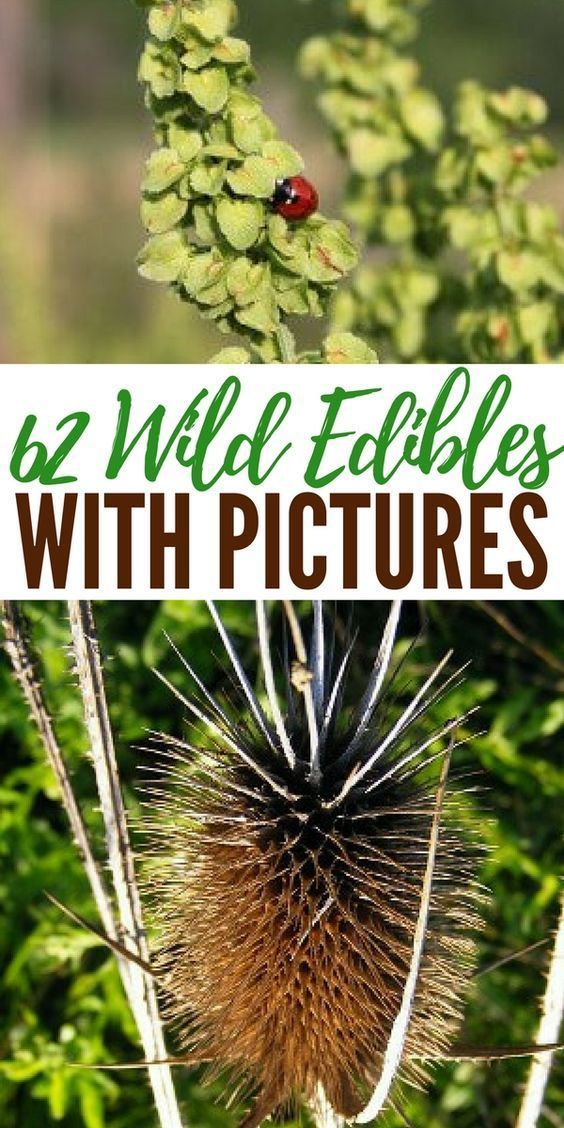 These wild edible plants are totally safe for consumption as long as you are certain of their identity when collecting. ** Click on the image for additional details. #CampingFood