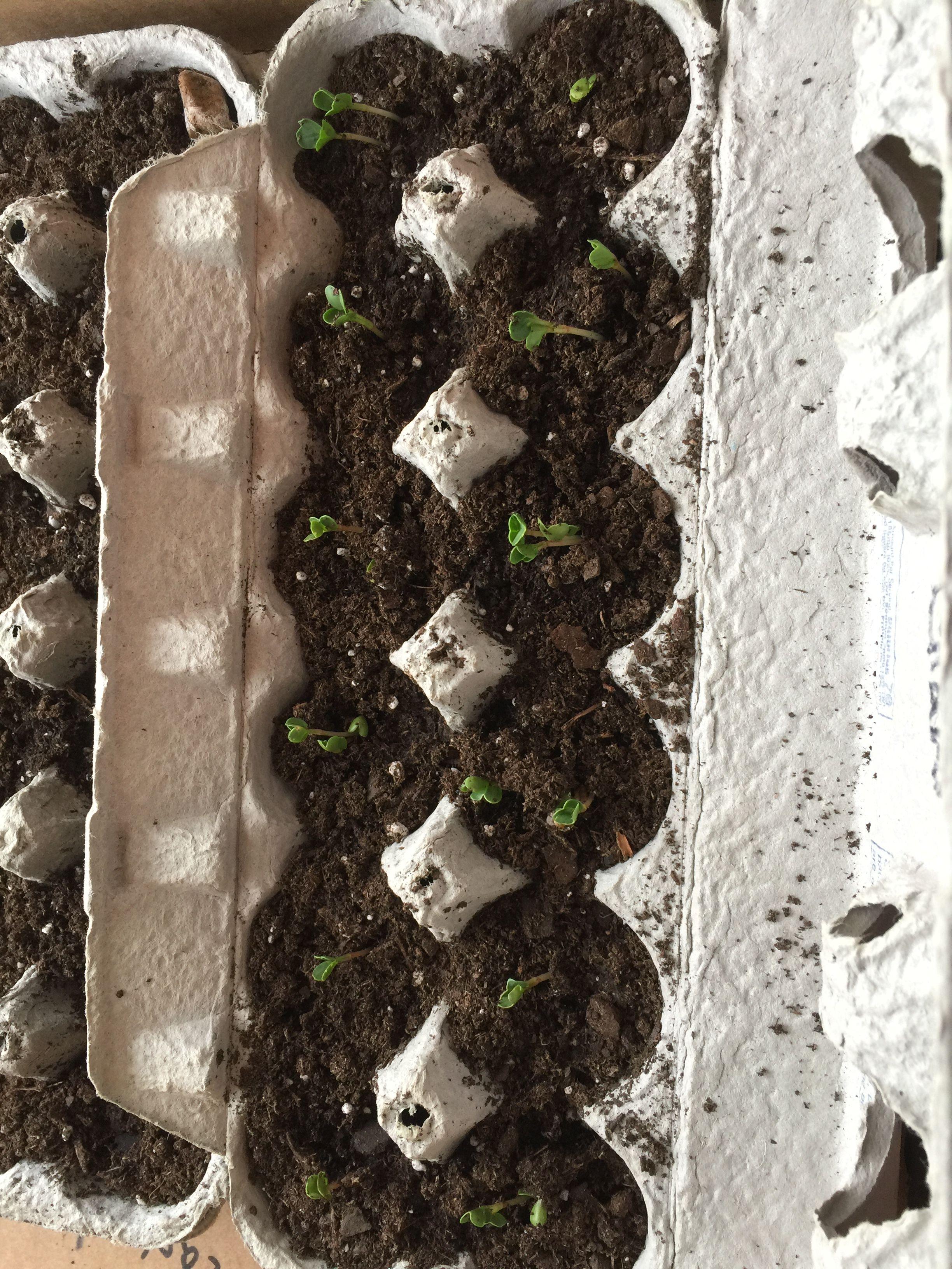 My Experience Starting Seeds In Cardboard Egg Cartons Seed