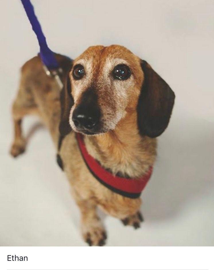 Dachshund Dog For Adoption In Jacksonville Fl Adn 457502 On