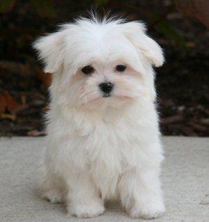 Scruffy Little Cutie Cute Dogs Pets Puppies
