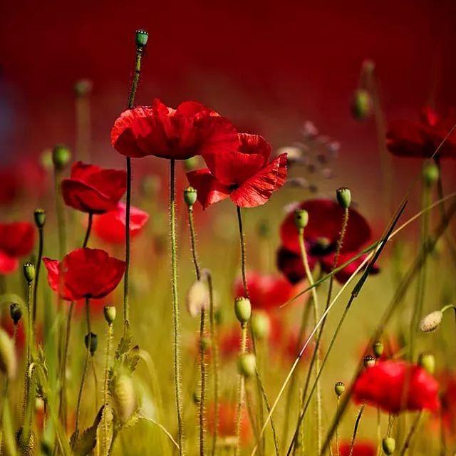 Pin Van Barbara Rathmanner Op Blumen Klaprozen Papaver Bloemen