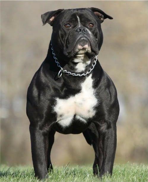Black American Bulldog American Bulldog American Bulldog Scott