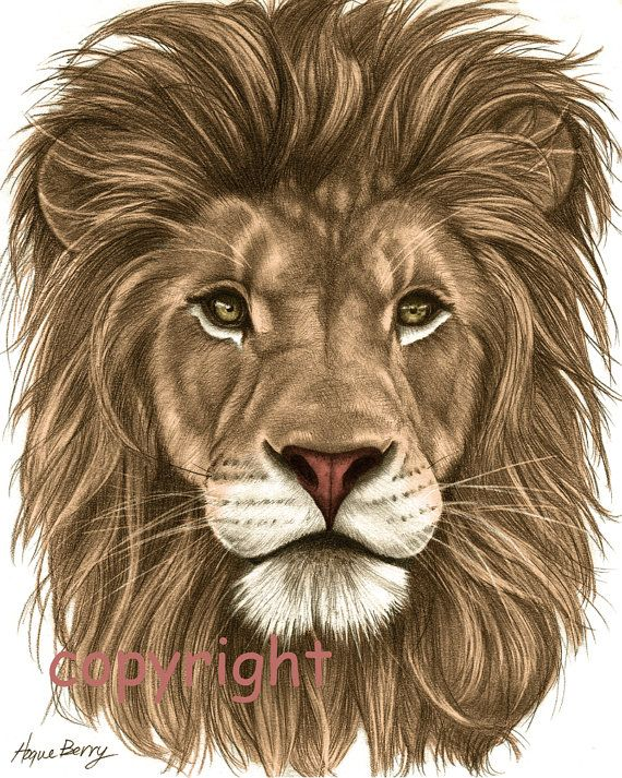 Lion Pencil Drawing Colored 8x10 Fine Art Print by