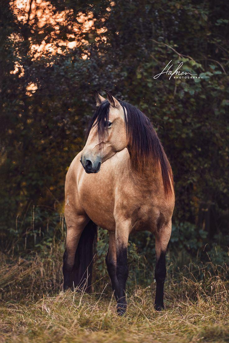 Lusitano Stute In Der Farbe Buckskin Pfedefotografie Pferd