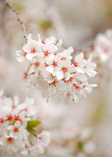 Cherry Blossom Pretty Flowers Amazing Flowers Beautiful Flowers