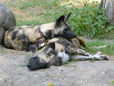 African Wild Dogs Sleeping/ #WildDogs #LionWorldTales #Travel #Africa #FunFacts #DidYouKnow