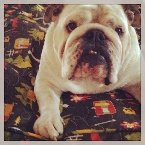 """@lindawuest's photo: """"Fank you for my new #mollymutt bed mama + dada. Eo"""""""