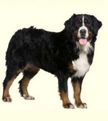 Bernese Mountain Dog Puppies For Sale Mountain Dog Breeds Dog Breeds Dogs
