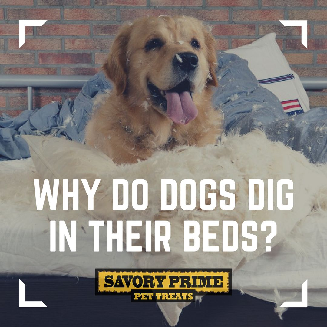 Why Do Dogs Dig in Their Beds? Dogs, Pet news, Cool pets