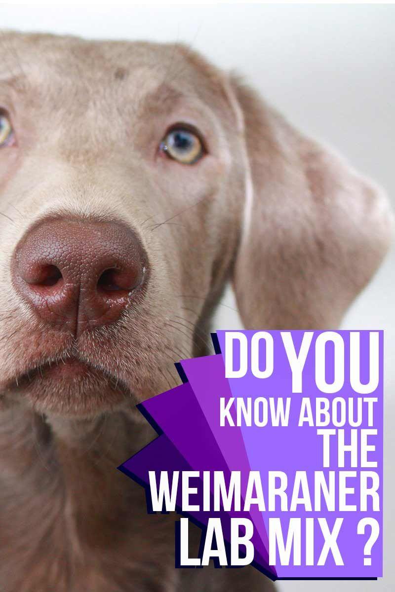 Weimaraner Lab Mix Your Guide To The Labmaraner Cross Breed Labrador Mix Lab Mix Puppies Weimaraner