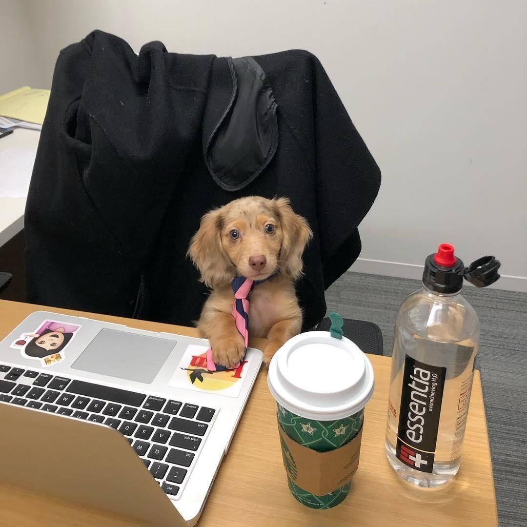 Dachshund At Work Sausage Dog Dachshund Love Dachshund Puppy