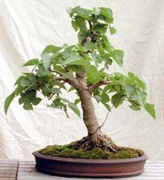 Pin En árboles Bonsai