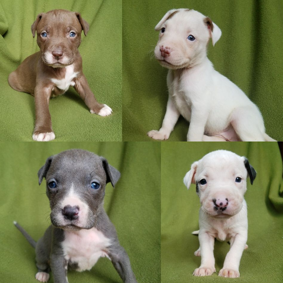 Adopt Autumn And Pups On Petfinder Cute Animals Animals Pitbull Terrier