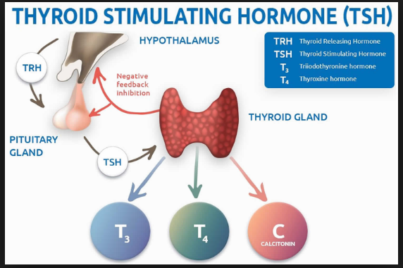 Tsh Mean Thyroid Stimulating Hormone A Tsh Test Is Used To Find