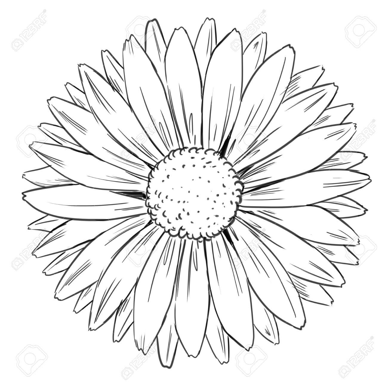 Sunflower Outline Drawing Petal Clipart