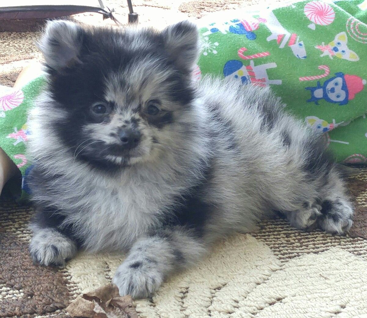 Cinder, a blue merle pomeranian male puppy @cinderpom ...
