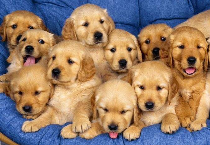 Golden Retrievers Puppies! :) aaaaahhhhh I can't wait to have one of these