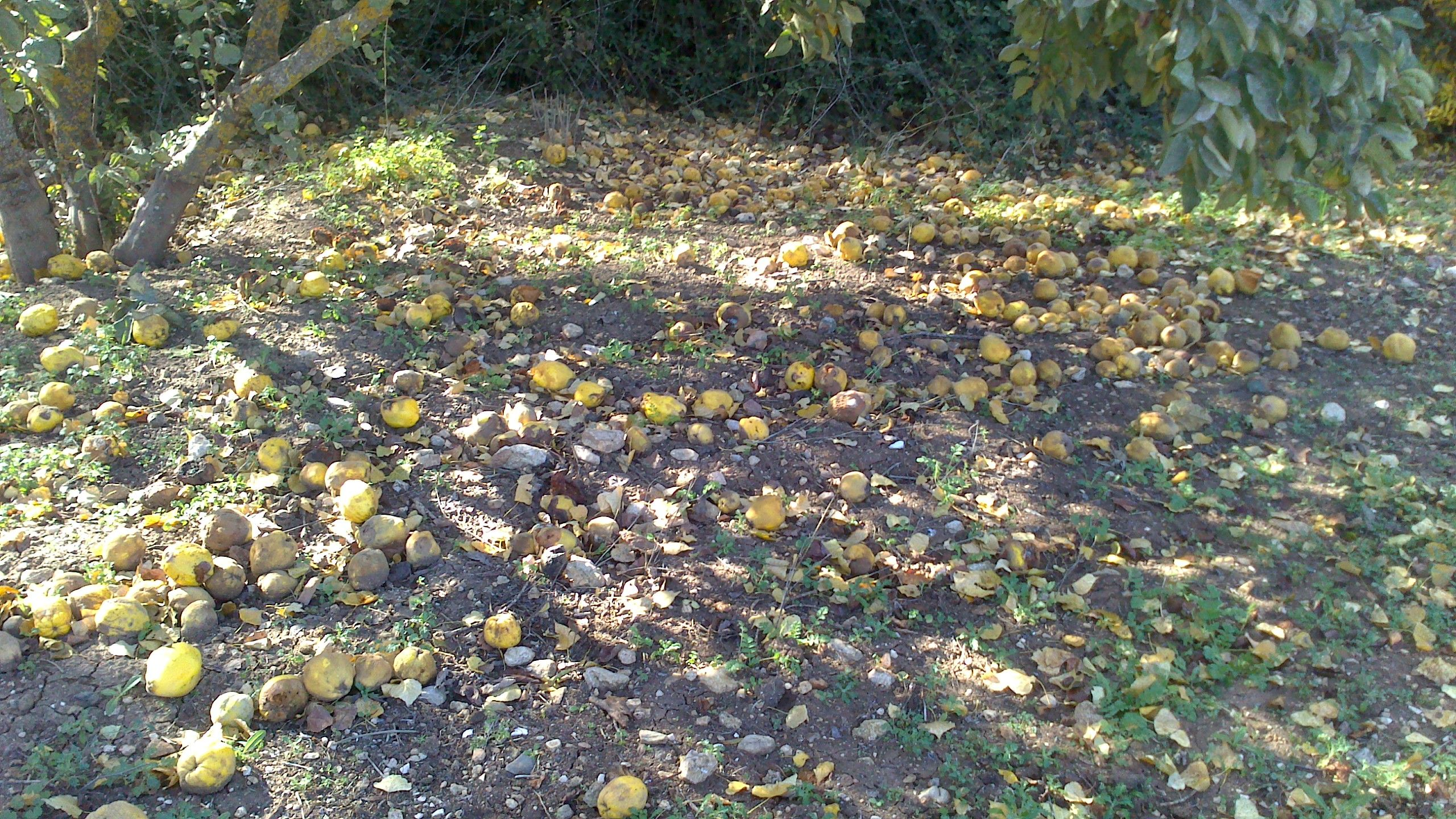 Windfall of Membrillos (Quinces) after the sharp winds this week.