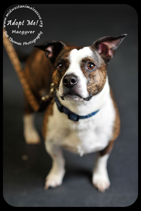 Macgyver Is A Loving Boston Jack Russel Mix That Is Responsible