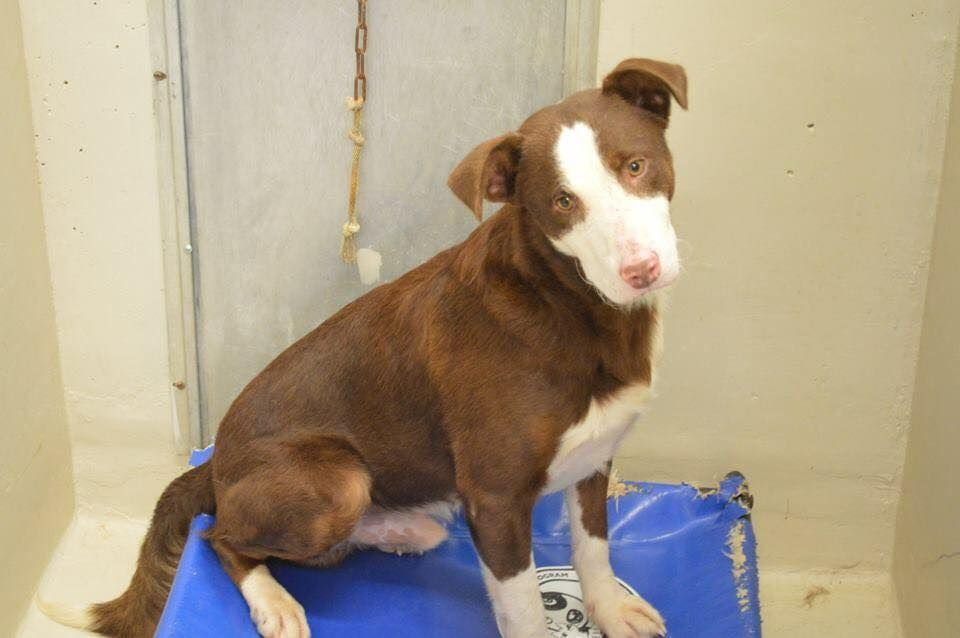 09/16/15-ODESSA - URGENT! Speaking Up For Those Who Can't September 2 · JoJo is 2-3 years old. Heeler/Collie mix male Kennel A18 $51 to Adopt ADOPT/RESCUE/FOSTER Located at Odessa, Texas Animal Control. Must have a valid Drivers License and utility bill with matching address to adopt. They accept Credit Cards, cash or checks. We ARE NOT the pound. We are volunteers who network these animals to try and find them homes. Please send us a PM if we can answer any questions for you. FEES: $