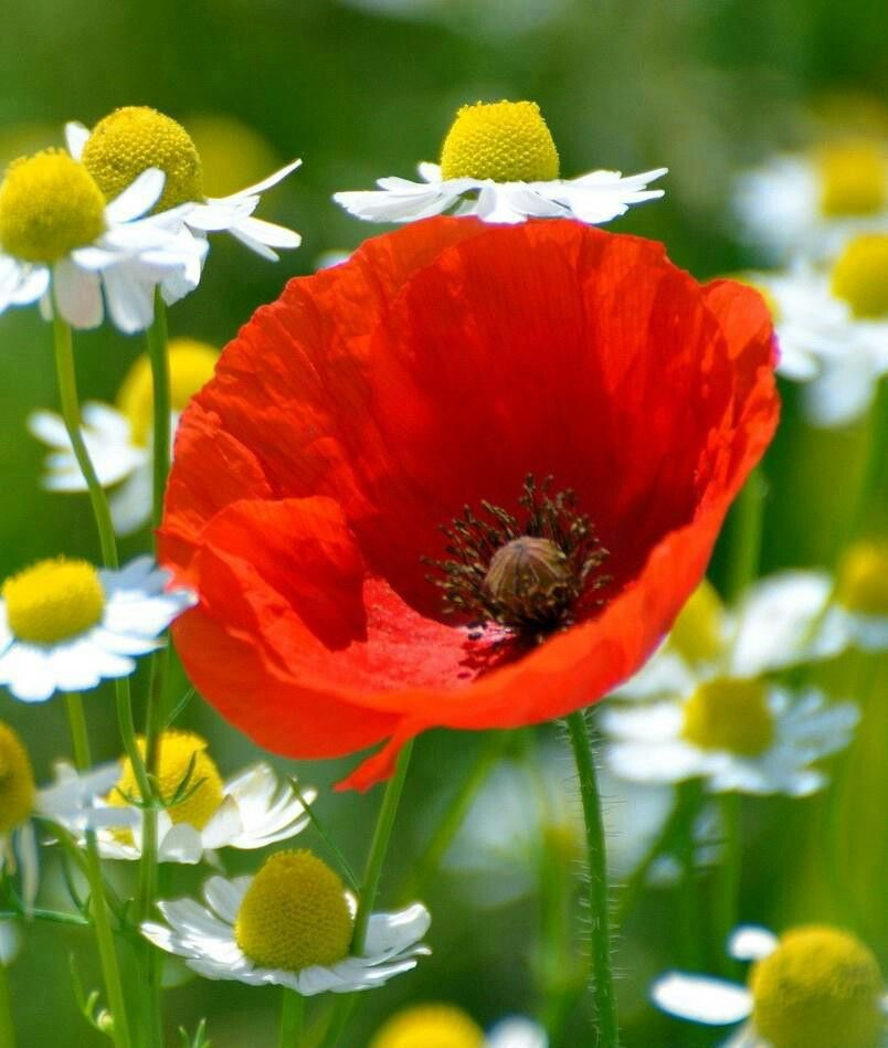 Red poppy and daisies