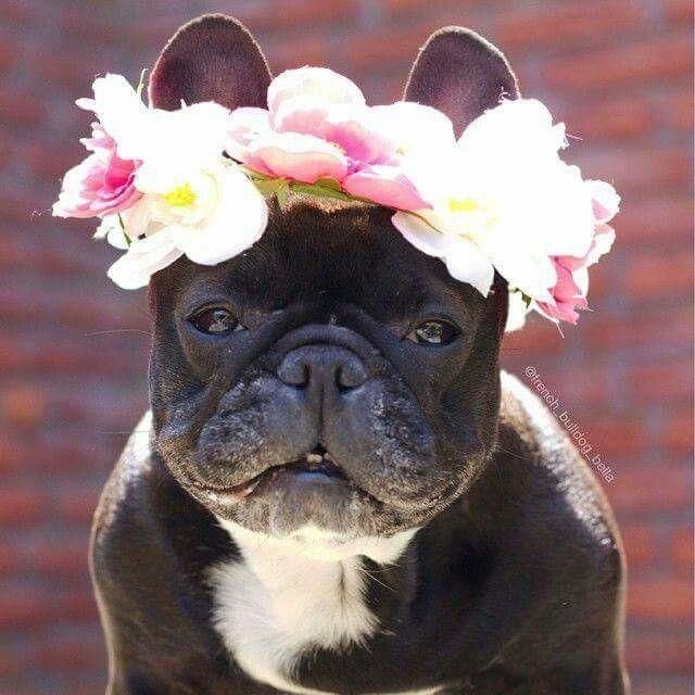 Pin By Heike Pieper On Bouledogues Co French Bulldog Bulldog Cute Dogs