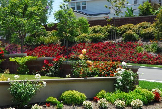 Flower Carpet Red Roses On Slope To Control Erosion At