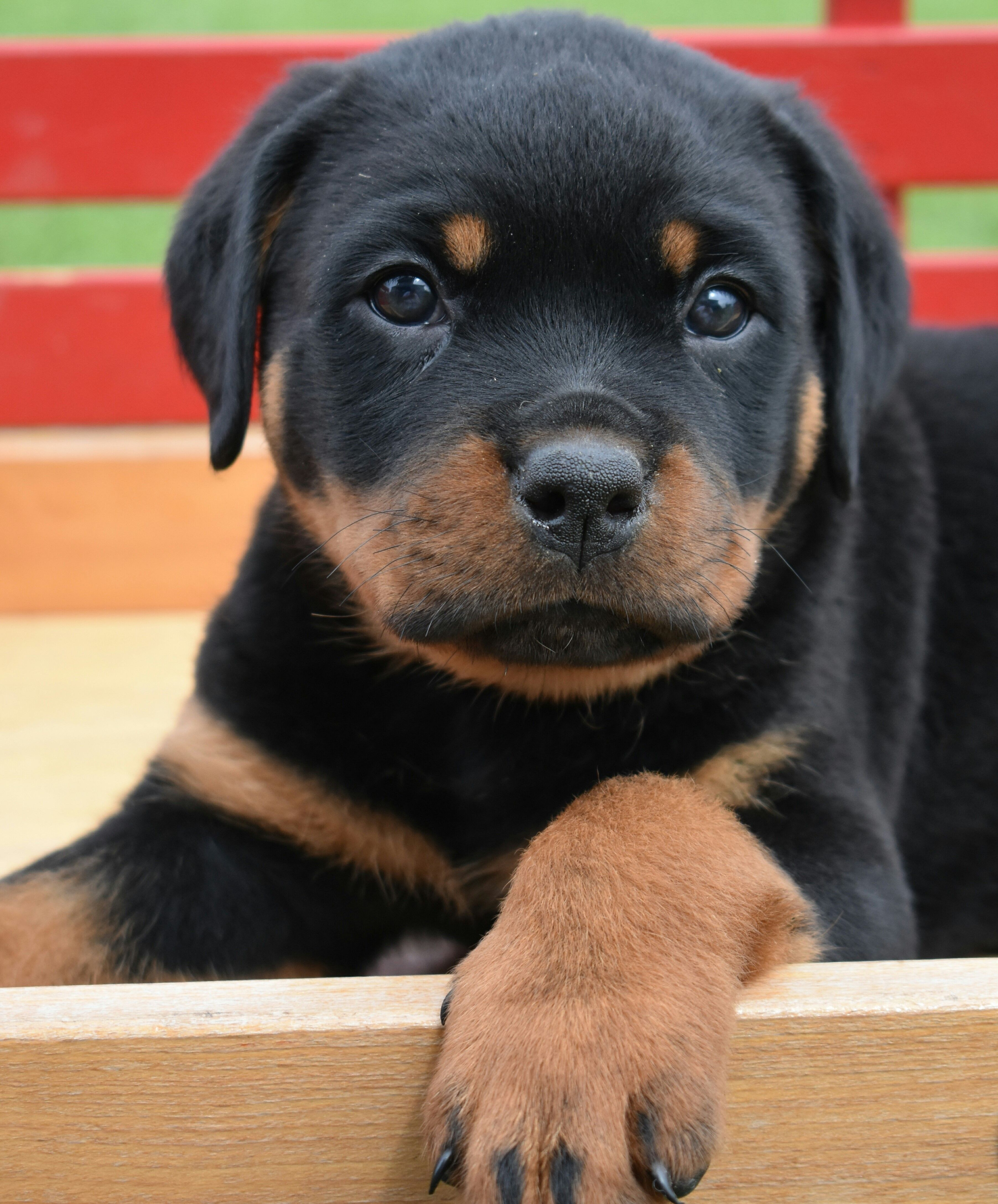 Puppies For Sale Athletic Dogs Athletic Dogs Breeds Rottweiler
