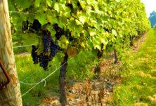 Slovenian wines - Slovenia - Official Travel Guide -