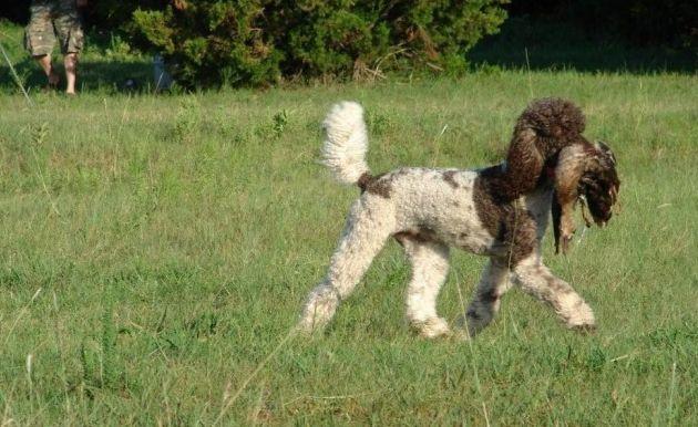 Parti Standard Poodle Hunting Poodle