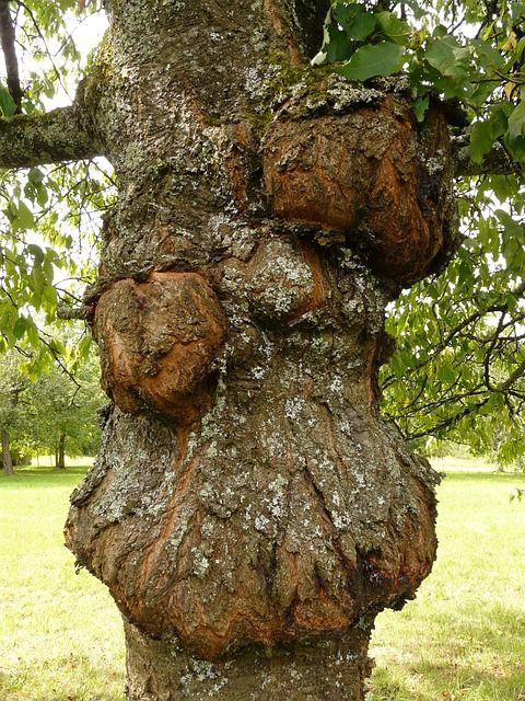 Le chancre des n croses dues des champignons pr venir et traiter bact rie maladie de et - Quand traiter les arbres fruitiers ...