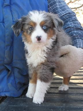 Tiny Guy Australian Shepherd Puppies Cutee Animals Super Cute Animals
