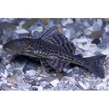Plecostomus At Petco Plecostomus Food Animals Fish