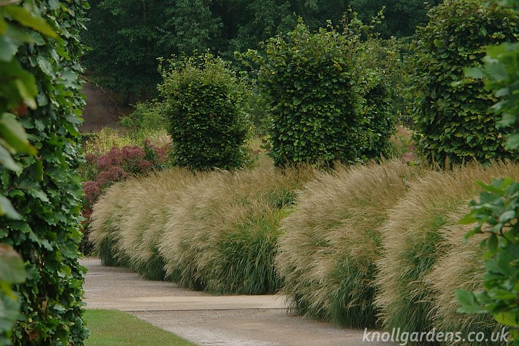 Miscanthus Starlight Knoll Gardens Ornamental Grasses and