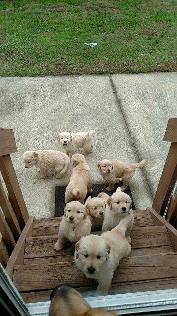 Golden Pups For Sale 2 Left Www Deziraygoldens Webs Com