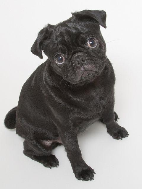 Black Pugs Black Pug Puppies Puppies And Kitties Pug Puppies