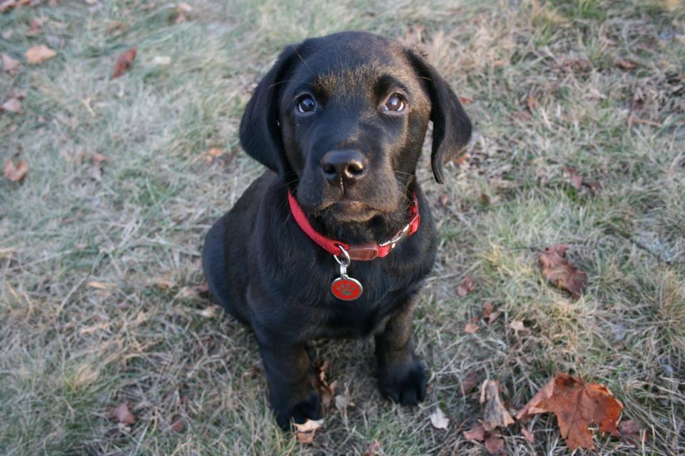Most Inspiring Lab Black Adorable Dog - 2b9b432e4a2ee931a40b5dec48a37d28  Snapshot_191762  .jpg