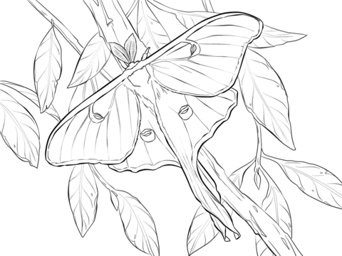 Realistic Luna Moth Coloring Page From Category Select 24848 Printable Crafts Of Cartoons